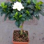 Gardenia Alberello